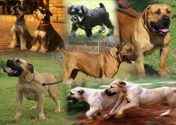 AFRIKA BOERBOELE   boerboel   puppies   pedicure dogs